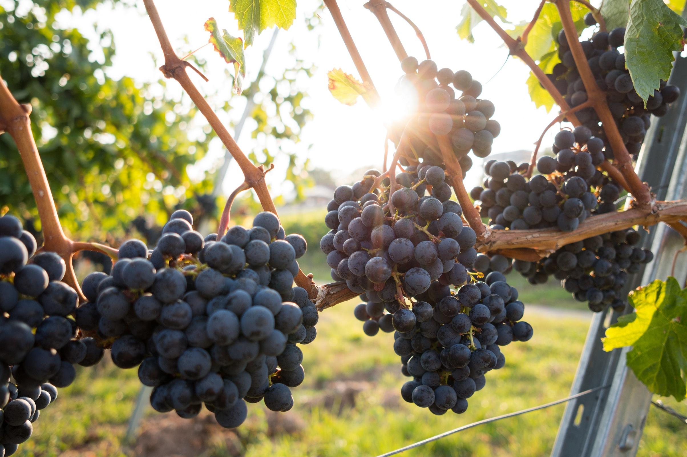 Mérieux NutriSciences_Grapes