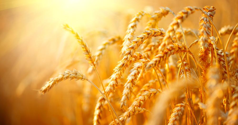 Mérieux NutriSciences_Wheat