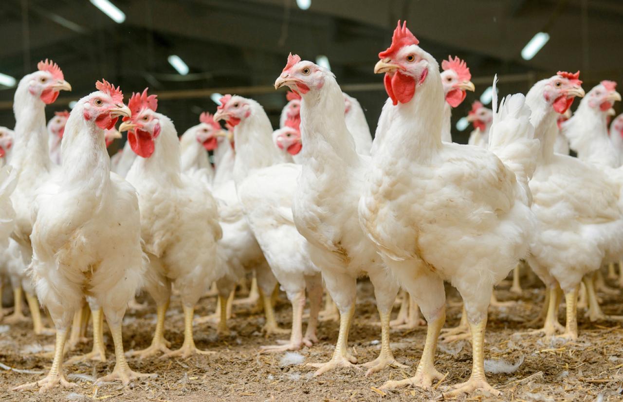 Mérieux_NutriSciences_Chicken