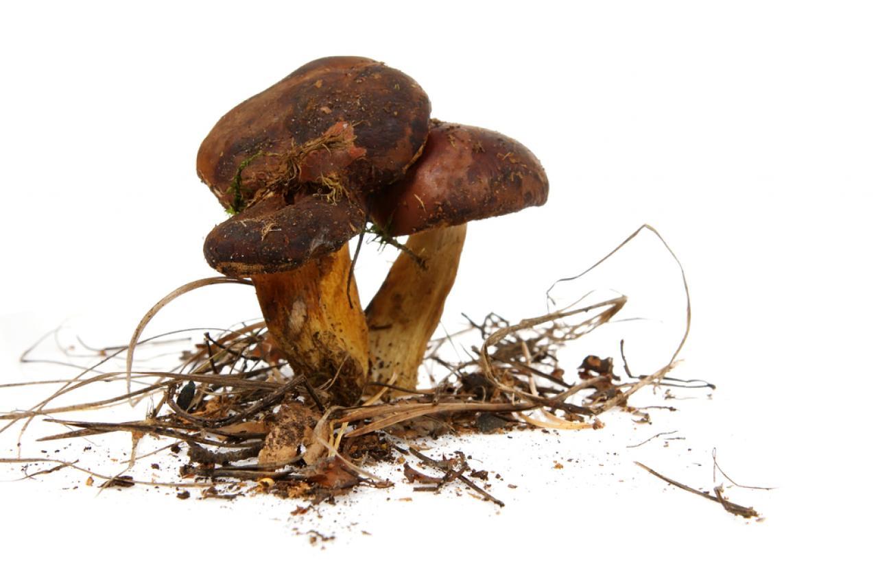 Mérieux NutriSciences_Mushroom
