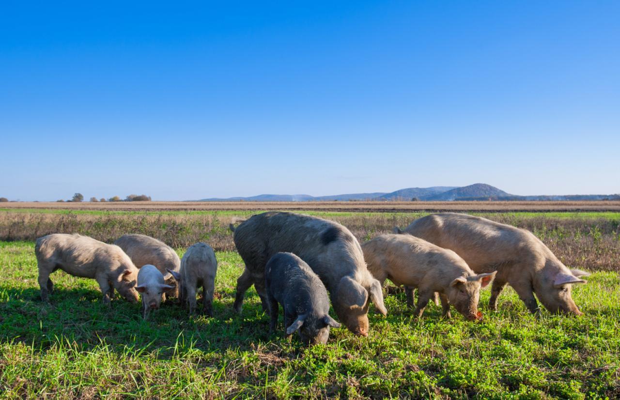 Mérieux NutriSciences_Pigs