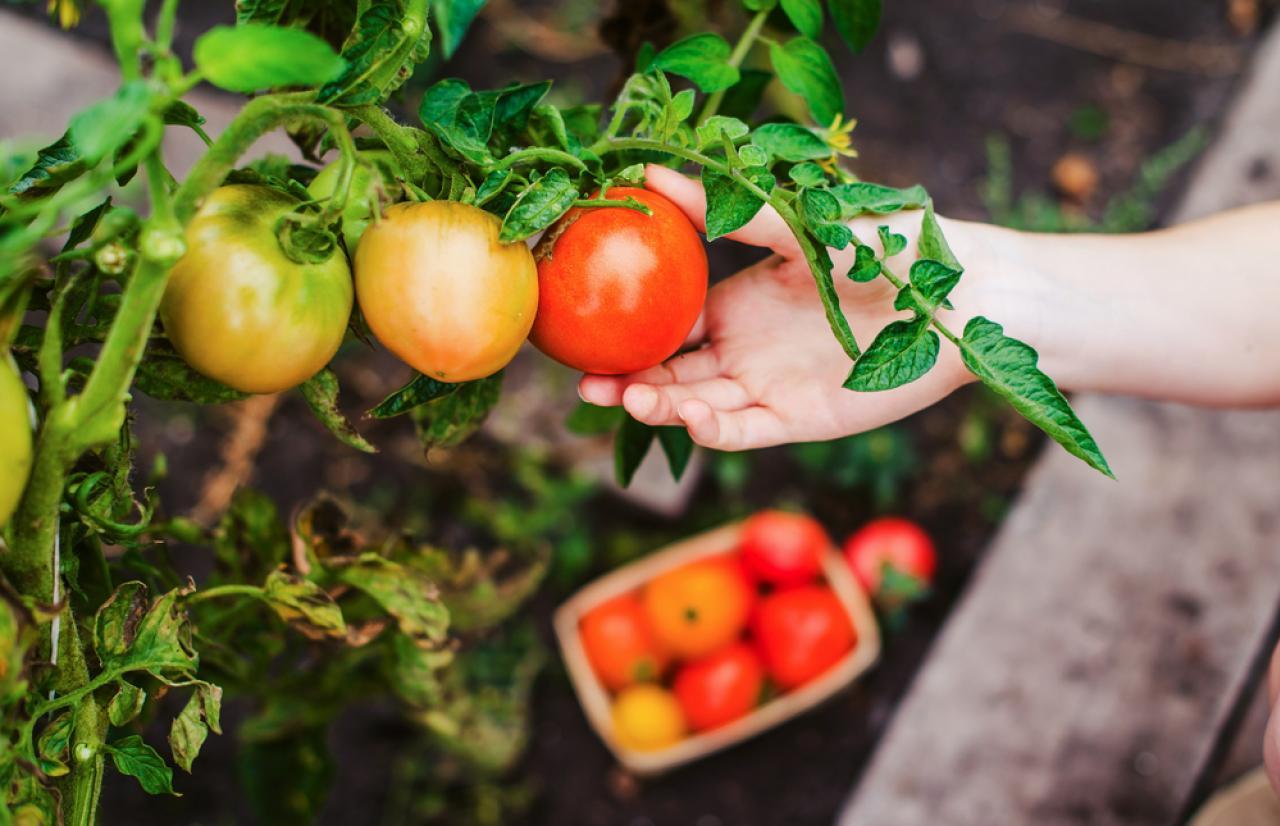 Mérieux NutriSciences_Tomatoes