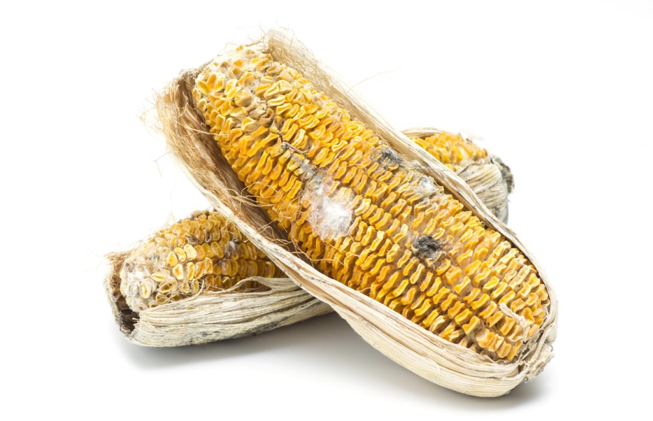 Moldy corn_Mérieux NutriSciences